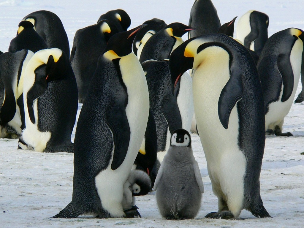 penguins-429128_1280